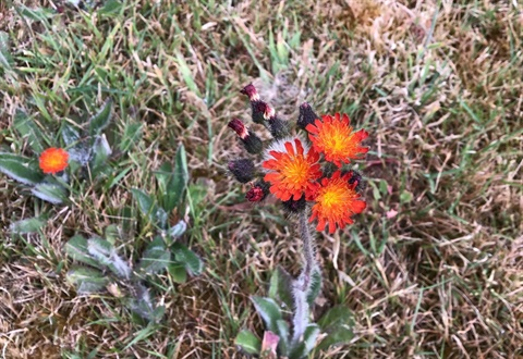 Orange hawkweed in flower.jpg